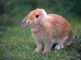 短毛荷兰垂耳兔可爱图片高清桌面壁纸