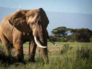 草原上的大象图片