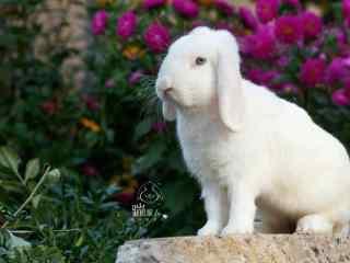 蓝色眼睛优雅的垂耳兔图片高清桌面壁纸