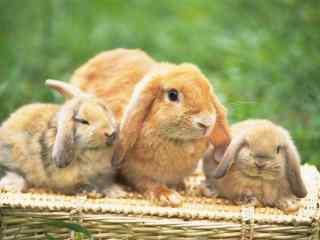 三只可爱的荷兰垂耳兔图片高清桌面壁纸