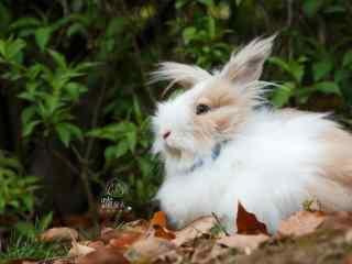 可爱长毛的垂耳兔图片桌面壁纸