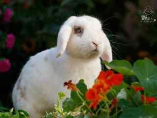 白色垂耳兔图片高清桌面壁纸