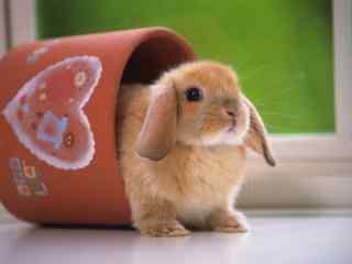 迷你荷兰垂耳兔图片高清桌面壁纸
