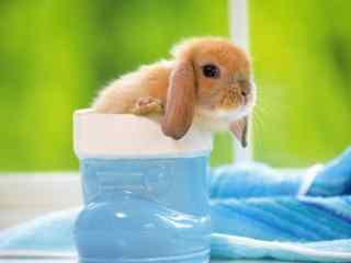 可爱的荷兰垂耳兔小兔子图片高清桌面壁纸