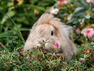 垂耳兔躲在草丛里可爱图片高清桌面壁纸