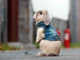 站立的垂耳兔可爱卖萌图片高清桌面壁纸