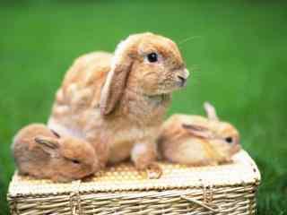 荷兰垂耳兔图片高清桌面壁纸