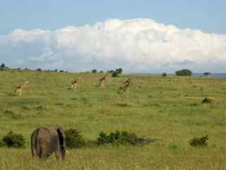 长颈鹿与大象图片