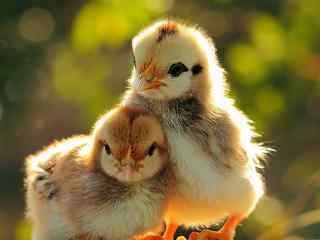 可爱的小鸡兄弟图