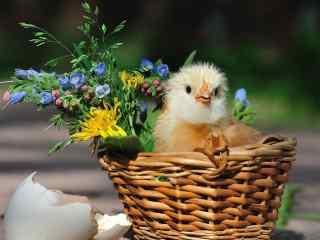 花篮里的小黄鸡可