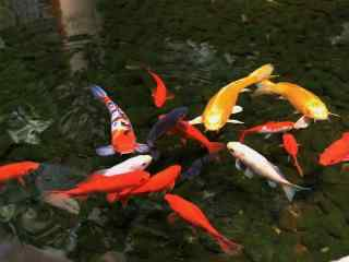 锦鲤戏水图片桌面壁纸