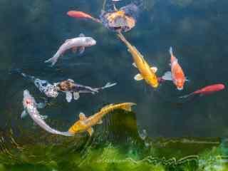 可爱的锦鲤图片壁纸
