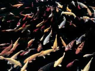 一大群锦鲤桌面壁纸