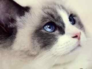唯美的布偶猫图片壁纸