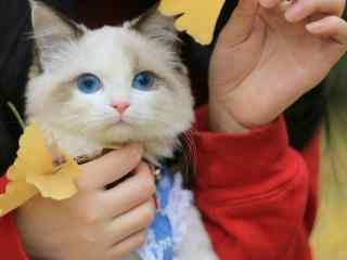 呆萌小宠布偶猫图片壁纸