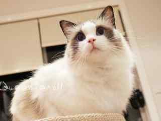 呆萌的布偶猫高清桌面壁纸