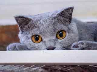可爱的灰色小猫咪