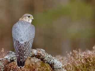 美丽灰色羽毛的苍鹰图片