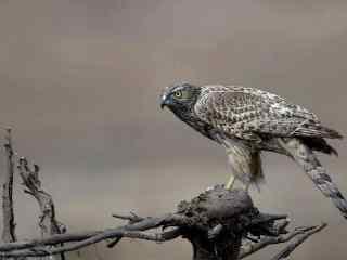 观察周围环境的苍鹰图片