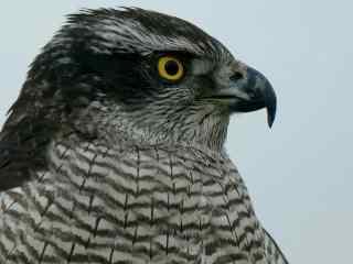 黄色眼睛的苍鹰图片