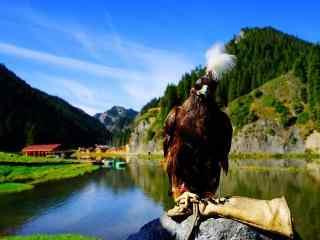 四川阿坝山区表演节目的老鹰图片