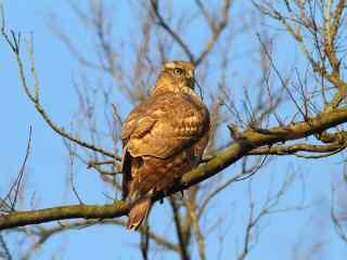 停在树枝上休憩的苍鹰图片