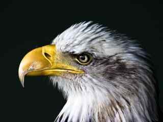 老鹰头图片桌面壁纸