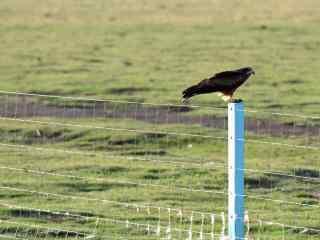 铁丝网上休憩的老鹰图片