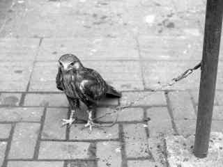 被铁链拴住的老鹰图片