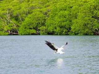 老鹰捕猎图片桌面壁纸