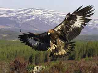 雪山脚下展翅高飞的苍鹰图片桌面壁纸