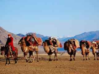 行走的骆驼队伍图片