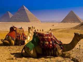金字塔沙漠中的骆驼图片