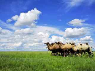 草原上的骆驼队伍