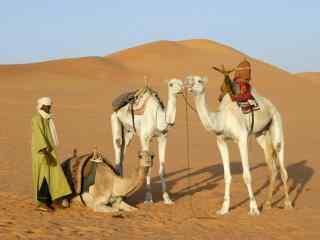 利比亚沙漠中的骆驼图片
