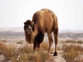 沙漠中吃草的骆驼图片