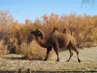 红柳树边的骆驼图片