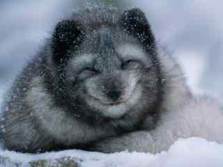 灰色可爱的北极狐图片壁纸