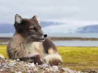 夏季灰色的北极狐图片壁纸