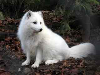 唯美雪白的北极狐图片