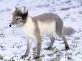 灰色的北极狐写真图片