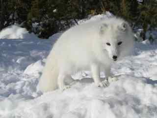 雪地上雪白的北极狐图片