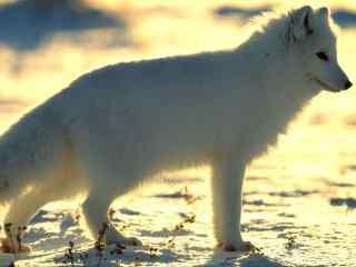 北极狐图片桌面壁纸