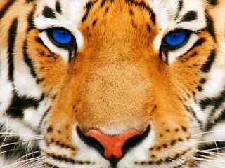 蓝色眼睛的老虎图片桌面壁纸