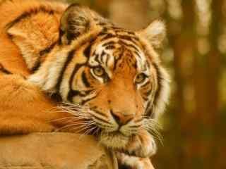 动物园里的老虎图片桌面壁纸