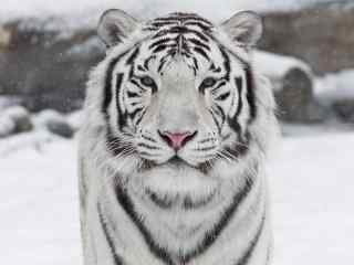 雪中的白虎图片高清桌面壁纸