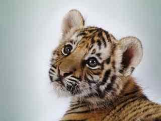可爱呆萌的小老虎图片高清桌面壁纸