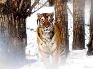 雪地森林里的东北虎图片桌面壁纸