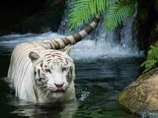 水中嬉戏的白虎图片桌面壁纸