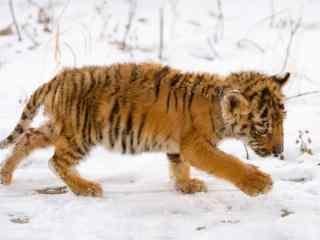 雪地里觅食的小老虎图片高清桌面壁纸